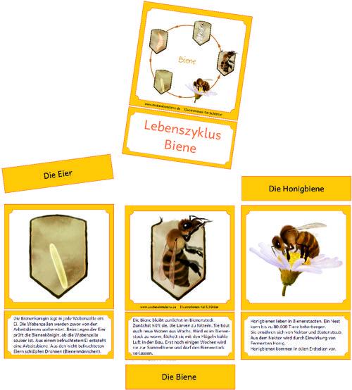 lebenszyklus-bienen - Zaubereinmaleins - DesignBlog